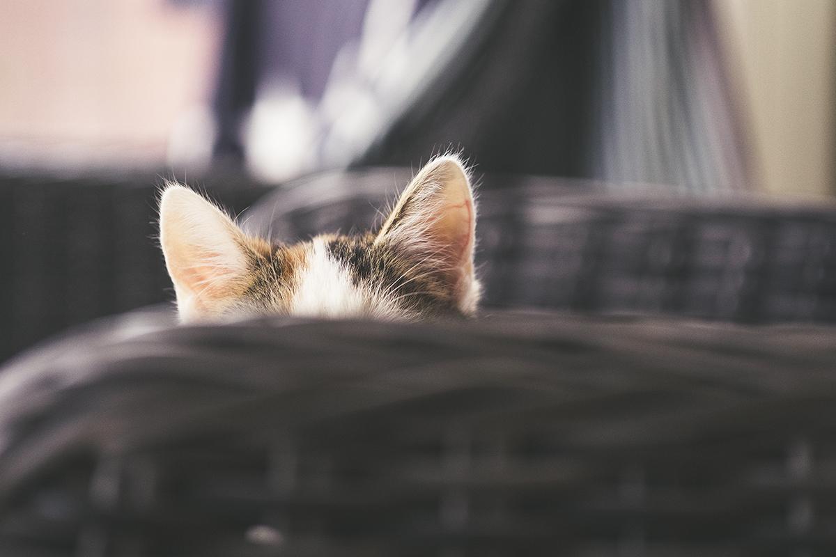 gatto orecchie su sedia di vimini